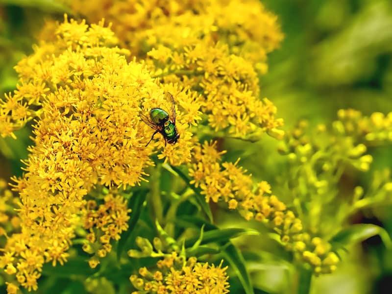 gelbe Goldrute mit grüner Fliege