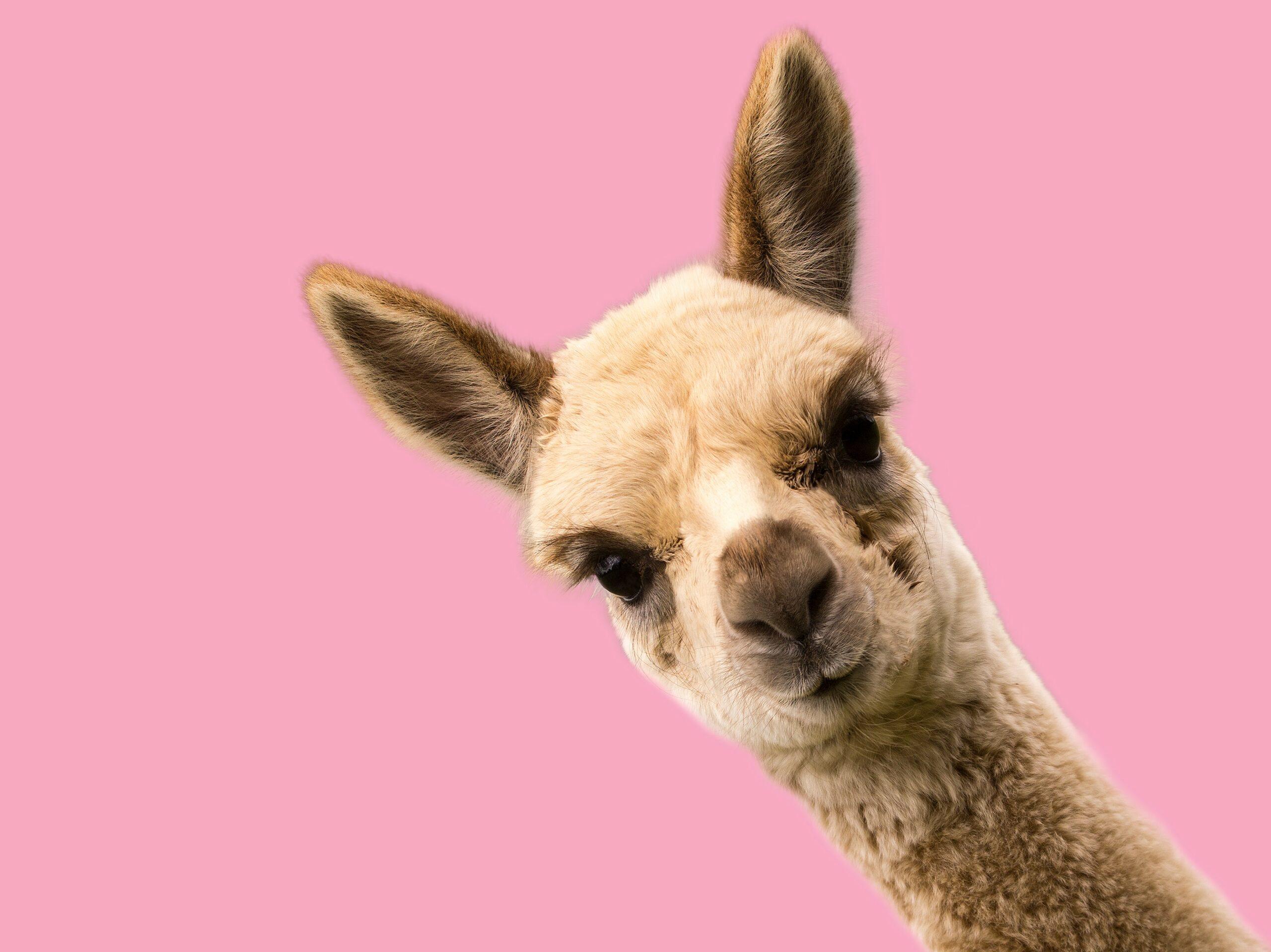 Nanobodies Mit Alpakas gegen Corona   PTA IN LOVE