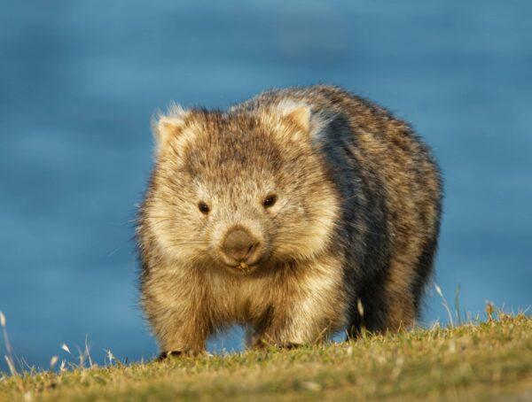 Symbolbild sechs Fakten Wombats
